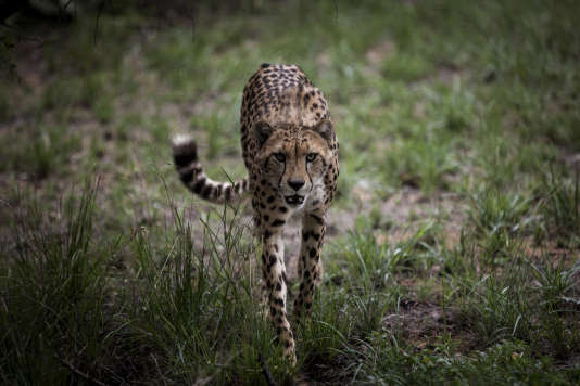 Il ne reste plus que 7 000 guépards dans le monde.