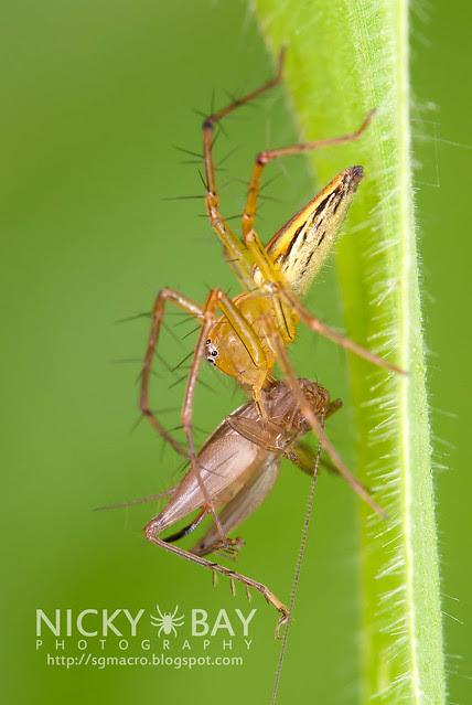 Lynx Spider (Oxyopidae) - DSC_9425