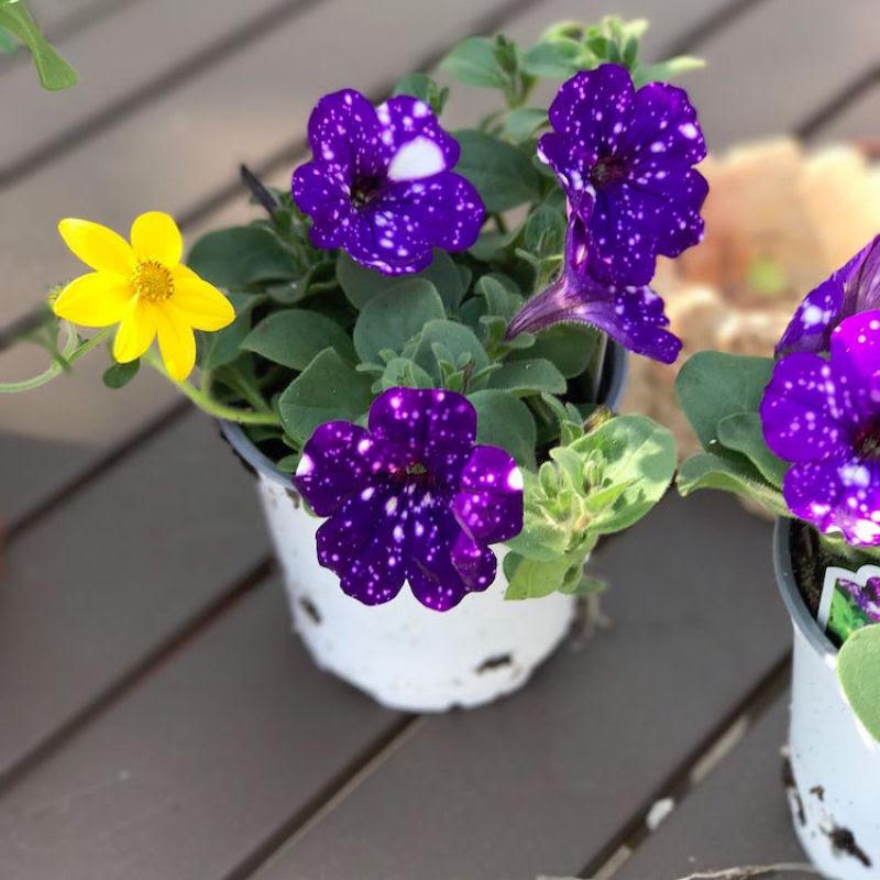 Flores espetaculares parecem ter o universo estampado em suas pétalas 13