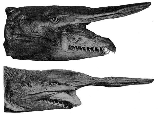 Goblin shark Facts