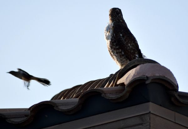 A snapshot of the hawk as it watches the northern mockingbird fly away from the roof of my neighbor's house...on April 28, 2018.