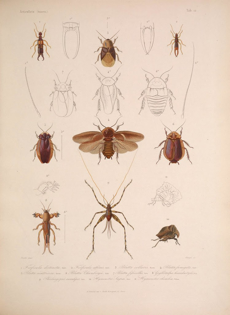 natural history illustration from  Cuba 1838-1857 h