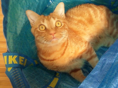 Stanley cat loves the Ikea bags