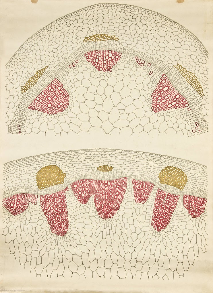 Dicot stem cross-section -- Anatomia Vegetal 1929, pub. by FE Wachsmuth e