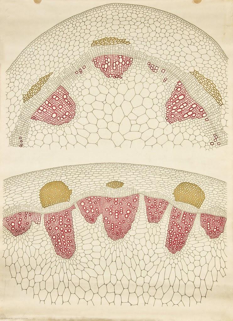 Dicot stem cross-section -- Anatomia Vegetal 1929, pub. by FE Wachsmuth e