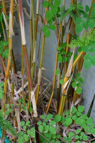 bambusa alphonse karr and dicentra scandens