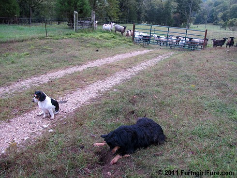 Bear on the mole patrol with bored beagle and sheep backup 4 FarmgirlFare.com