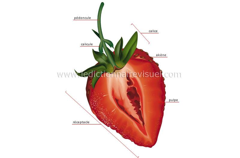 coupe d'une fraise - Le Dictionnaire Visuel