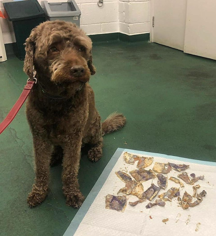 Ozzie ate £160 and clearly knows he had been a naughty doggo. Credit: Murphy & Co Veterinary Practice