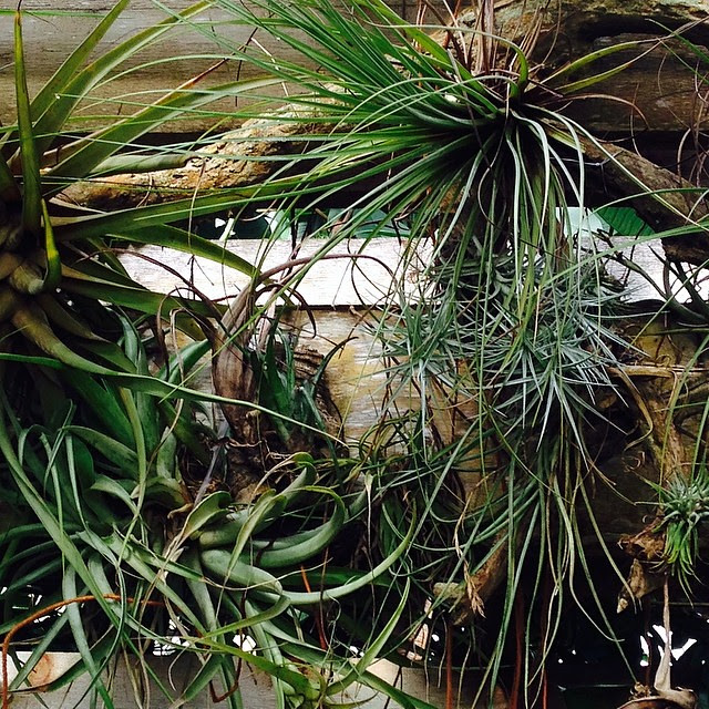 Bromeliads #airplants