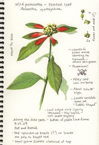 A Nature Art Journal In Southwest Florida Wild Poinsettia