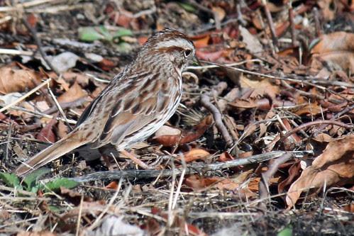 song sparrow 034
