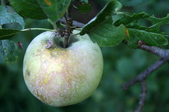 apple diseases (2)