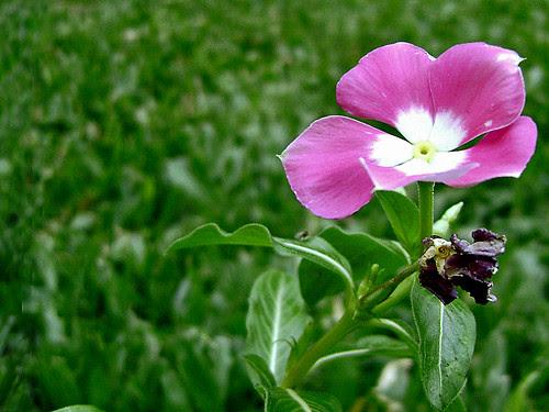 flor-en-el-pasto-02