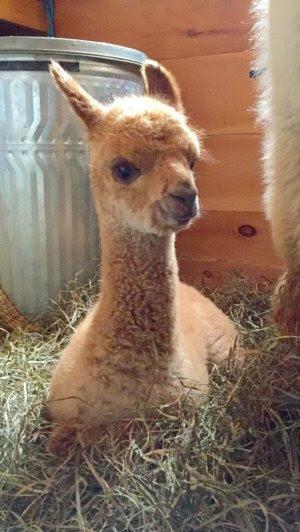 Alpaca sponsorship in memory of Orion alpaca death neonatal clinic
