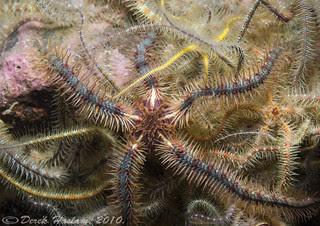 Brittle stars. Ophiothrix fragilis.