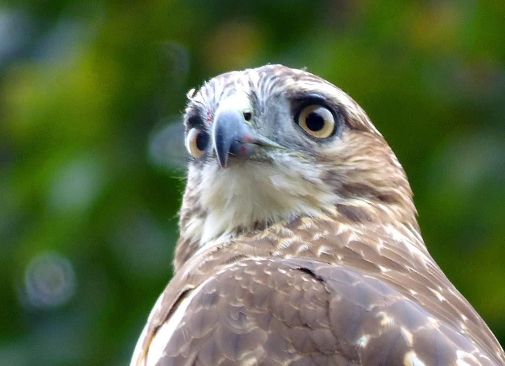 Tagged hawk in Tompkins Square Park
