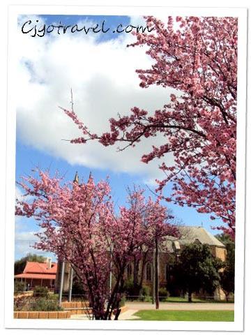 Cherry Blossom at York Town, Australia