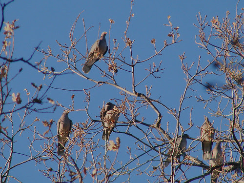 band-tailed pigeons - columba fasciata