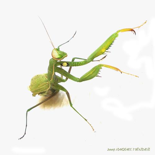 A-mantis para siempre (tal cual pero menos)