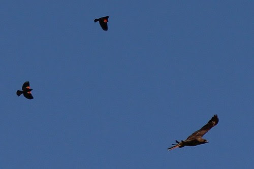 IMG_0229_Red_Wing_Blackbirds_Chasing_Red_Tail_Hawk