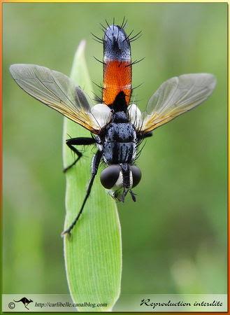 Mouc_Cylindromyia_pilipes_P026839
