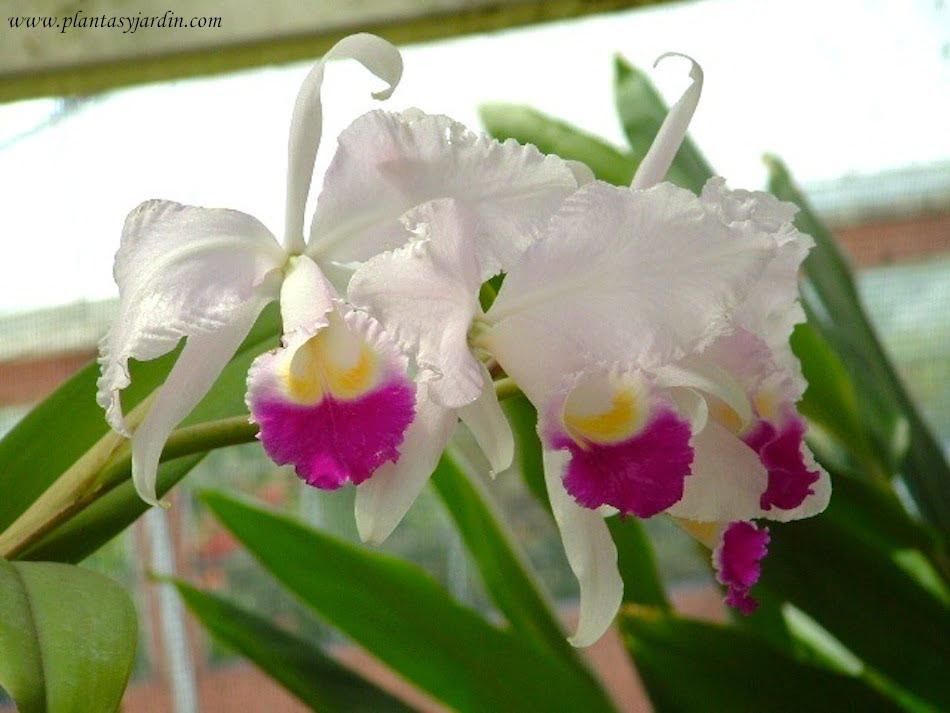 Cattleya Trianae La Flor Nacional De Colombia Plantas Y Jardín