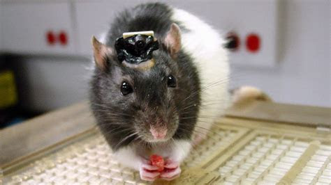 Brain implant lets rats ?see? infrared light   Science   AAAS