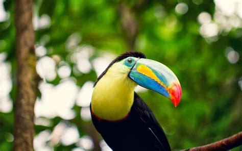 hd toucan bird wallpapers