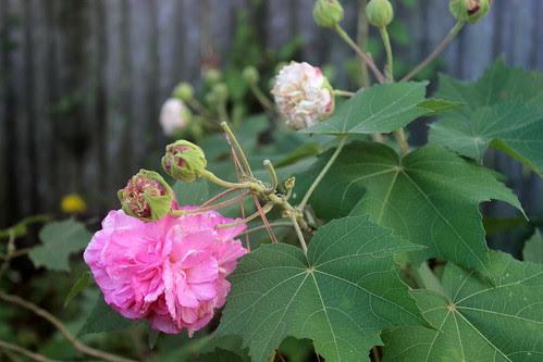 Confederate Rose Blooms