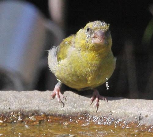 Ringed Greenfinch
