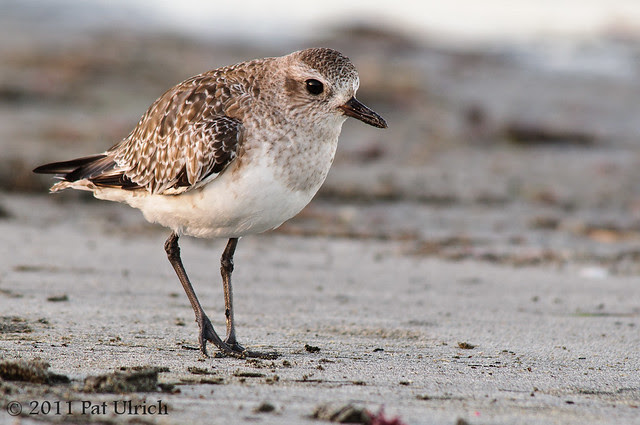 Black-bellied Plover on the sand - Pat Ulrich Wildlife Photography
