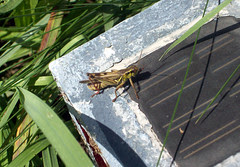 Grasshoper_91309b