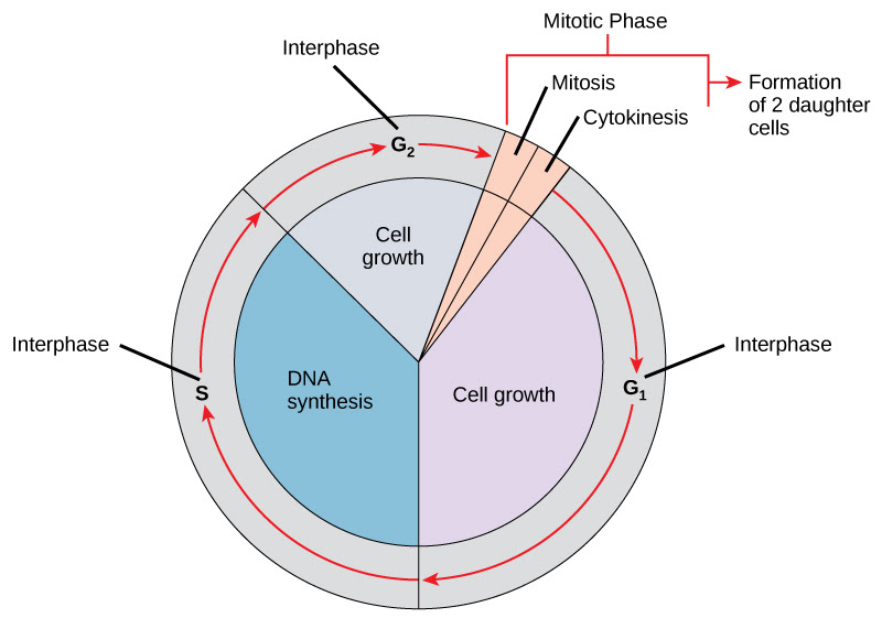 6.2 The Cell Cycle - Concepts of Biology - 1st Canadian ...