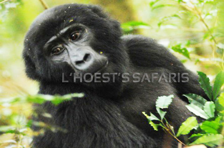 5 days gorilla trekking safaris rwanda