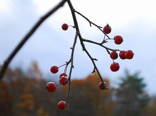 Nov 09 berries 1