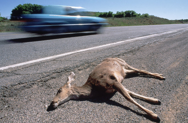 http://outdoorlife.blogs.com/photos/uncategorized/2007/10/23/roadkill.jpg