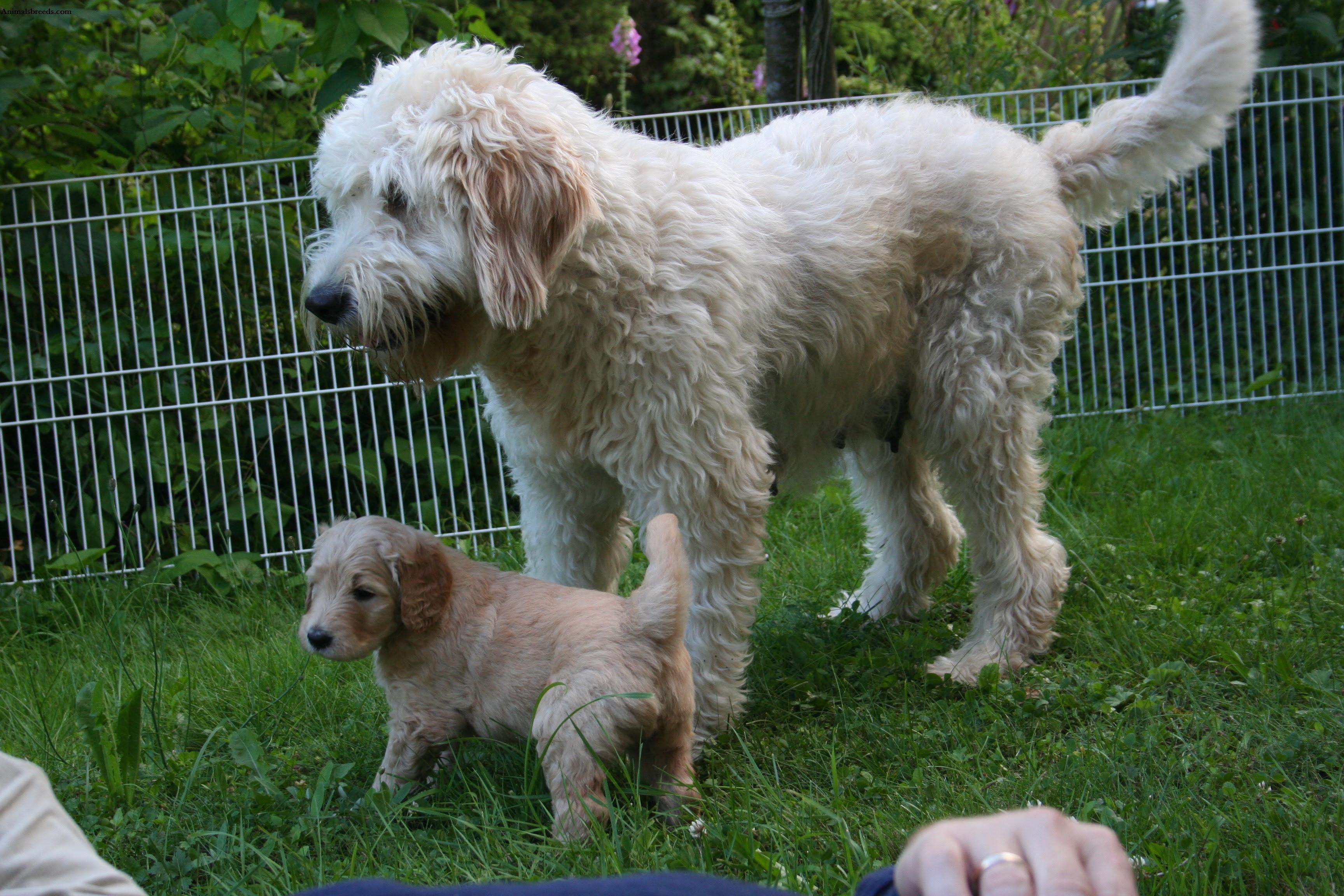 Goldendoodle  Puppies, Rescue, Pictures, Information, Temperament, Characteristics  Animals Breeds