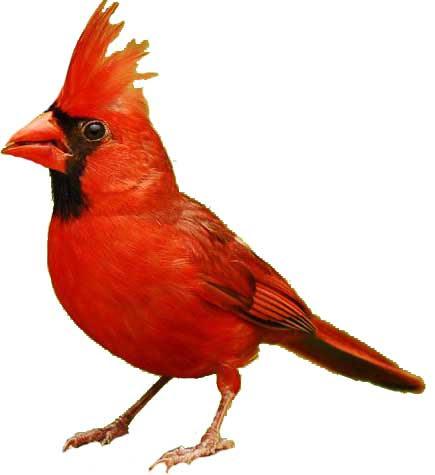 Cardinal Bird Information Diet Habitat And Facts Science4fun