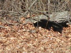 skunk 2