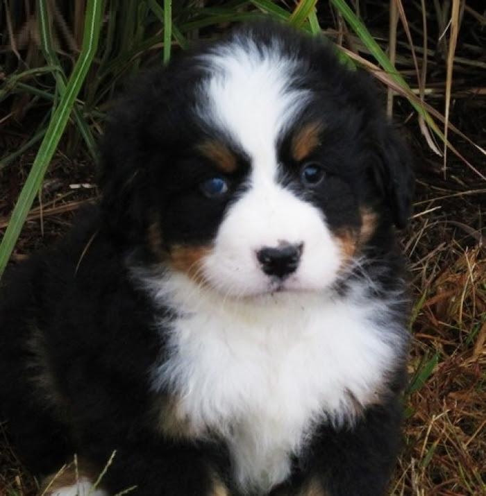 Yhjdfjh Bernese Mountain Dog Puppies for Sale | Handmade ...