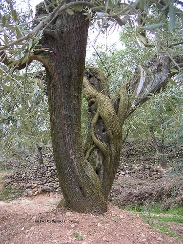 tronc d'olivera