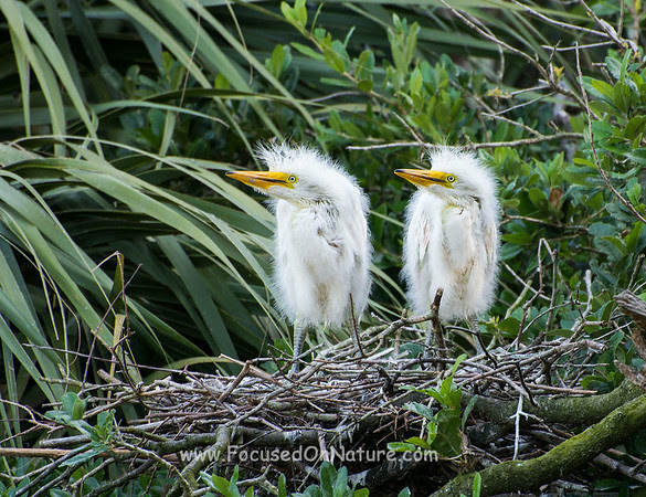 Great Egret Chicks