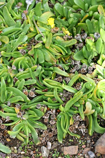 glottiphyllum foliage