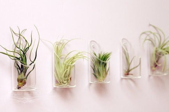 Medium Air Plant and Glass Vase // Wedding Favor Decor Gift Wall-Mounted Floating Terrarium DIY Minimalist Garden tillandsia