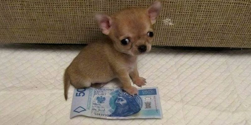 The smallest dog)