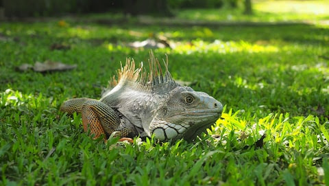 An iguana in the city's botanical garden
