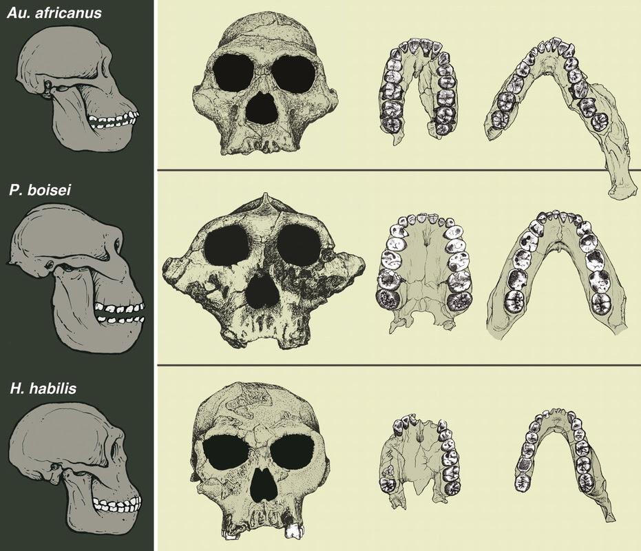 Resultado de imagen de Australopithecus (o Paranthropus) boisei.