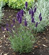 Lavender 'Little Lady'