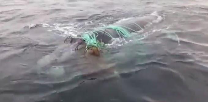 Unos buzos lo arriesgan todo para liberar a una estresada orca atrapada en una red de pesca